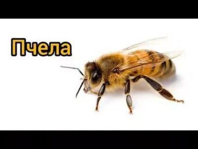 как пчела на английском