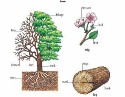 как по английски дерево