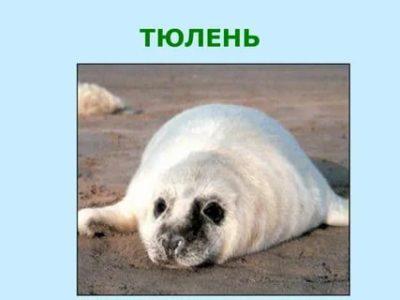 как по английски морской котик