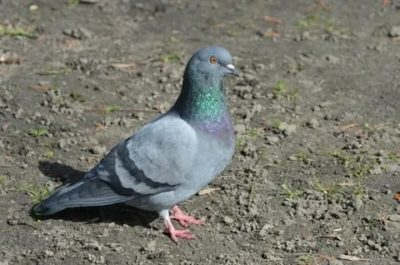 как по английски голубь