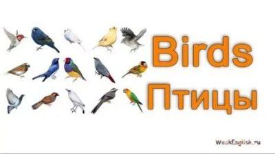 как птица по английскому