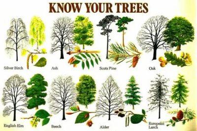 как называется по английскому дерево