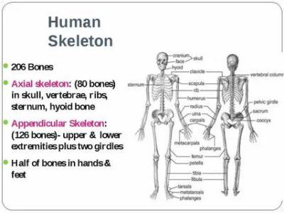 как по английски скелет
