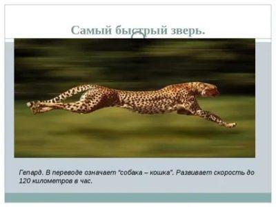 как по английски гепард