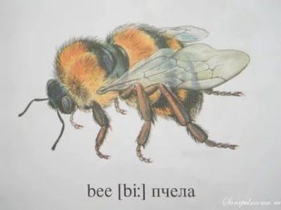 как по английски пчела