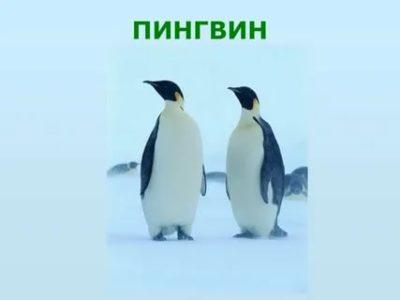 как по английски пингвин