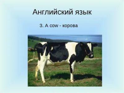 как по английски корова