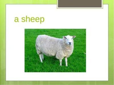 как по английски овца